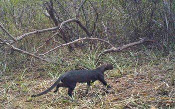 Yaguarundi: el gato misterioso necesita más conservación e investigación