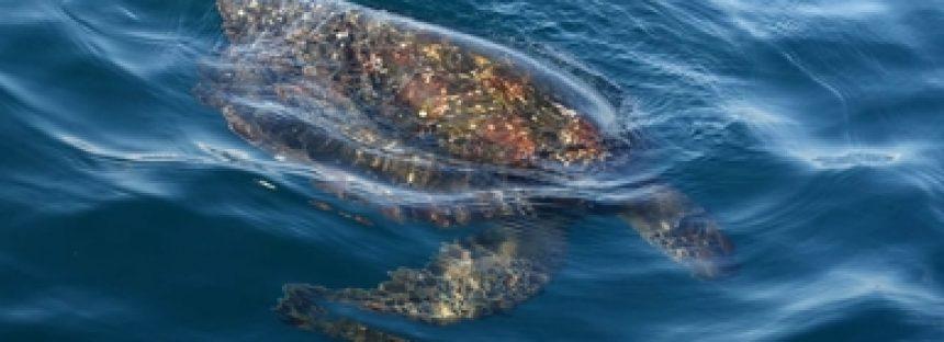 Muerte de tortugas en playas de Oaxaca por marea roja