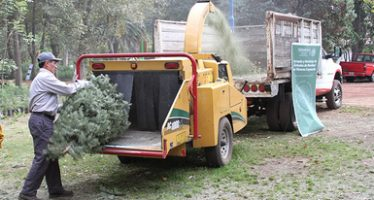 Colocan centros de acopio y reciclaje de árboles de Navidad