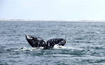 Temporada de avistamiento de ballenas en ocho estados de la república