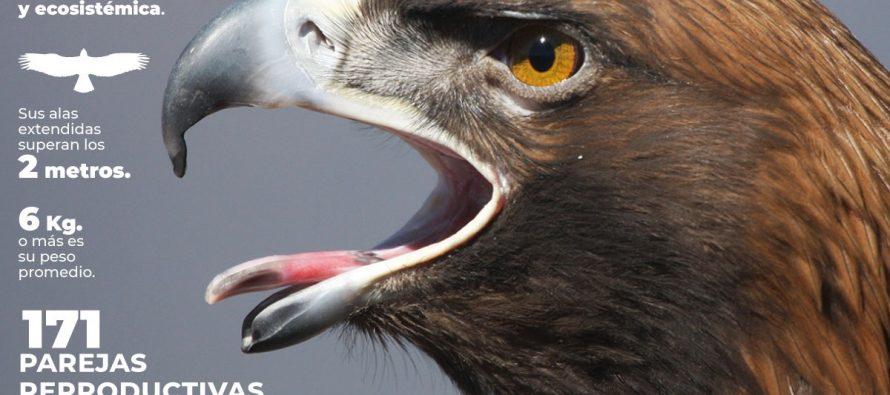 Aumenta en México parejas reproductivas de águila real (Aquila chrysaetos canadensis)