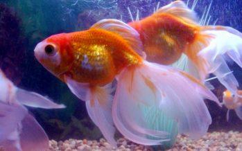 Capacitan a piscicultores de ornato en materia de bioseguridad, para evitar dispersión de especies invasoras
