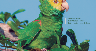 Jalisco: expedición en busca del loro cabeza amarilla (Amazona oratrix)