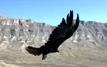 Liberan ejemplar de águila real (Aquila chrysaetos), y once aves de presa en Coahuila