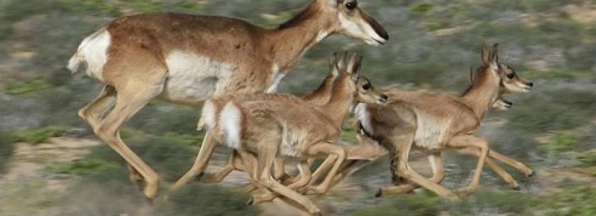 Con 15 crías, inicia la temporada 2020 de nacimientos del berrendo peninsular (Antilocapra americana peninsularis)