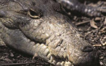 El regreso de los cocodrilos