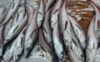 Gobierno mexicano, presenta proyecto de norma para regular el aprovechamiento del pez merluza (Merluccius productus)