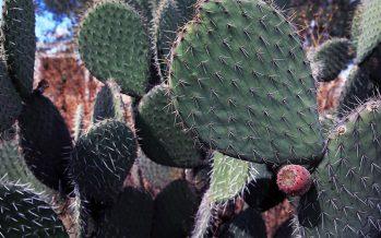 El cultivo de nopal (Opuntia sp), es una opción viable para captura de carbono y auxiliar en el combate al cambio climático