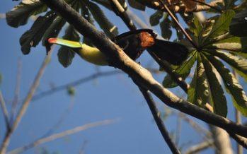 Liberan dos ejemplares de tucán real (Ramphastos sulfuratus) en Los Tuxtlas