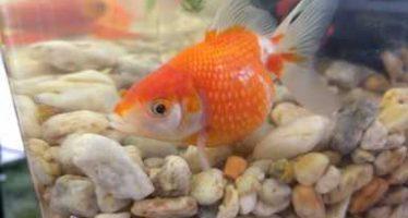 """La acuacultura ornamental o """"acuarismo"""", genera recursos por 140 mdp anuales"""