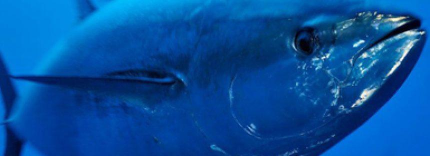 Sin rebasar cuotas, en México, flota atunera capturó 3,268 toneladas de atún aleta azul (Thunnus orientalis) en el ciclo 2020