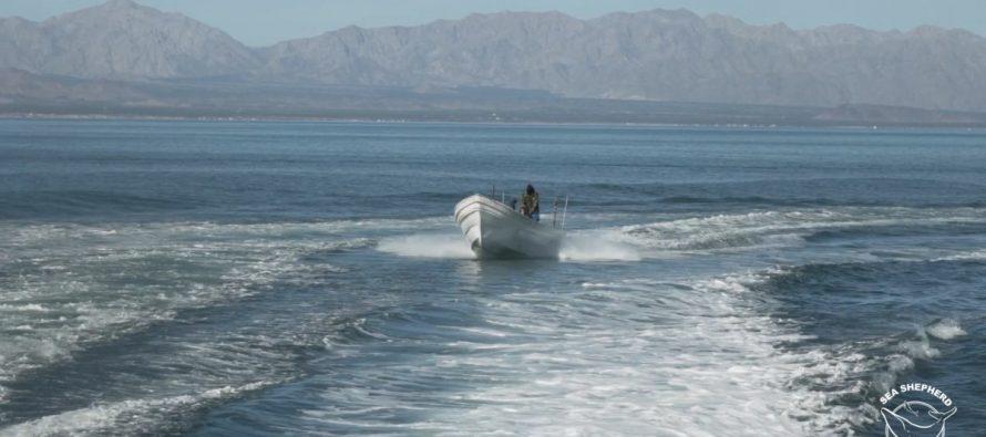 Condena Profepa agresión de disparos contra buque de Sea Shepherd en el Alto Golfo de California