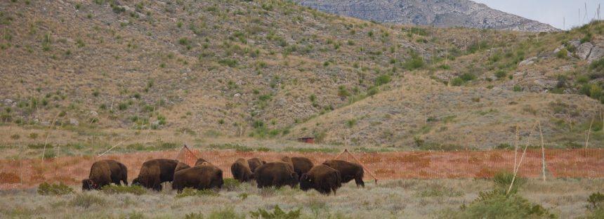 A 100 años de su extinción aquí, reintroducen el bisonte americano  (Bison bison)  en Coahuila, México