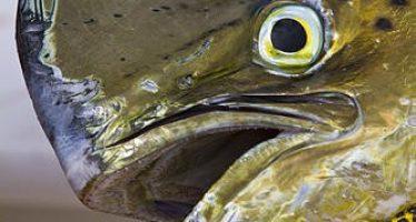 ¡En efecto! Intocable el pez dorado (Coryphaena hippurus), que mantiene estatus de reserva para pesca deportiva en México