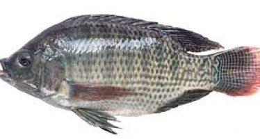 Inició en la presa El Salto, de Sinaloa, repoblamiento de tilapia para pesca comercial aquí, y en Guerrero y Colima