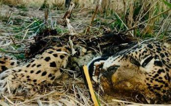 Matan a tiros a un jaguar en la sierra de Mascota, Jalisco