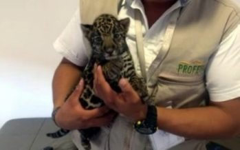 Aseguran un cachorro de jaguar (Panthera onca) en Pachuca, por no demostrarse su legal procedencia