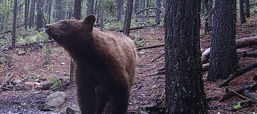 Avances significativos en la conservación del oso negro americano (Ursus americanus machetes) en el APFF Campo Verde, Chihuahua