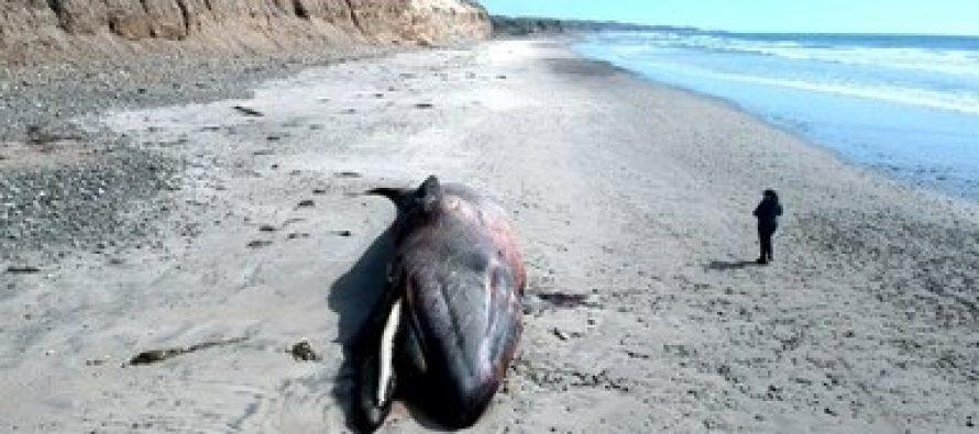 Varan y mueren una ballena gris y una orca en costas del Pacifico, en Rosario, Baja California