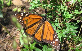 ¡Grave declive! Se reduce en más de la mitad, la superficie ocupada por colonias de mariposa monarca en México