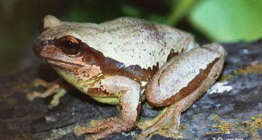 Sarcohyla floresi, especie recién descubierta en Guerrero, es nombrada en honor de Óscar Flores Villela (UNAM)