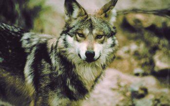 El documental Lobo Mexicano: el regreso de una especie extinta, reporta el éxito de su reintroducción a México