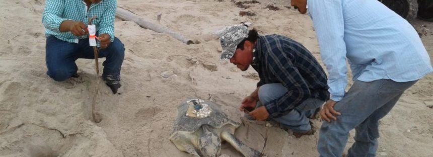 Primera arribada de tortuga lora (Lepidochelys kempii) en el Santuario Playa de Rancho Nuevo, Tamaulipas