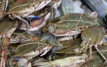 La Conapesca y el INAPESCA actualizarán pesquería de jaiba (Callinectes sp.) en océano Pacífico y golfo de California, para modificación de vedas