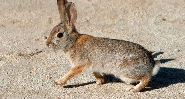 Reaparece en México, enfermedad hemorrágica viral en conejos silvestres (EHVC); no tiene relación con la COVID-19