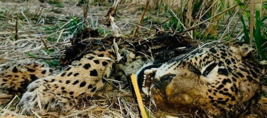 Por el asesinato de un jaguar (Panthera onca) en Jalisco, la Profepa presenta denuncia penal contra quien resulte responsable
