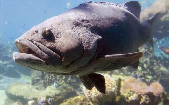 En el Golfo de México, inicia temporada de pesca de todas las especies de mero