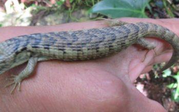 Hallazgo del dragoncito de Sierra Morena (Abronia morenica), es nuevo registro de lagartija endémica de Chiapas