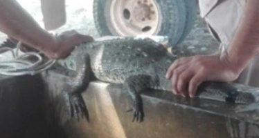 Rescatan un cocodrilo de río (Crocodylus acutus) en Chiapas