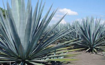 Investigan en la UNAM parentesco genético en diferentes especies de agave tequilero