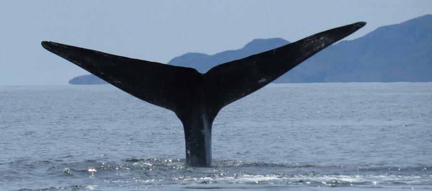 Arriban al Parque Nacional Bahía de Loreto, seis ejemplares de ballena azul (Balaenoptera musculus)
