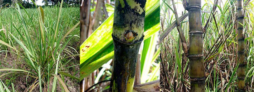 Científicos mexicanos desarrollan una nueva variedad de caña de azúcar (Saccharum officinarum), resistente a enfermedades y alta productividad