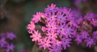 La Reserva de la Biósfera El Pinacate y Gran Desierto de Altar florece y atrae polinizadores esenciales