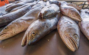 Concluye temporada de pesca comercial de curvina golfina (Cynoscion othonopterus) en Alto Golfo de California y Delta del Río Colorado