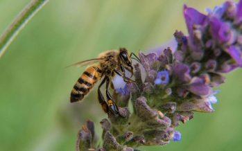 Sin abejas, garantía de desabasto de alimentos en el mundo