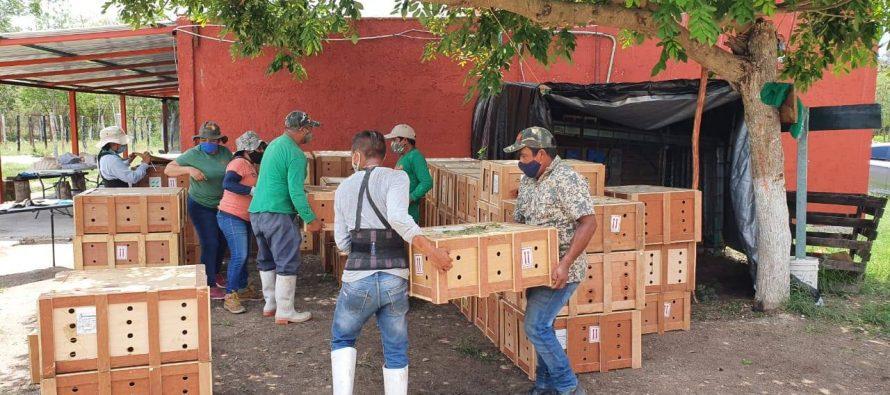 Trasladan 9 mil tortugas a unidades de manejo en los estados de Quintana Roo y Yucatán