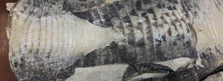 Descubren tráfico ilegal de pieles de cocodrilo y cactáceas en aeropuerto de San Luis Potosí