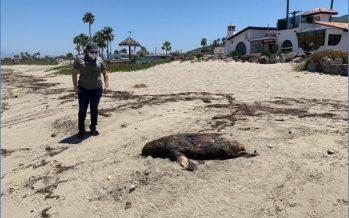 En costas de Ensenada, Baja California, varan y mueren una ballena gris (Megaptera novaeangliae) y cinco lobos marinos