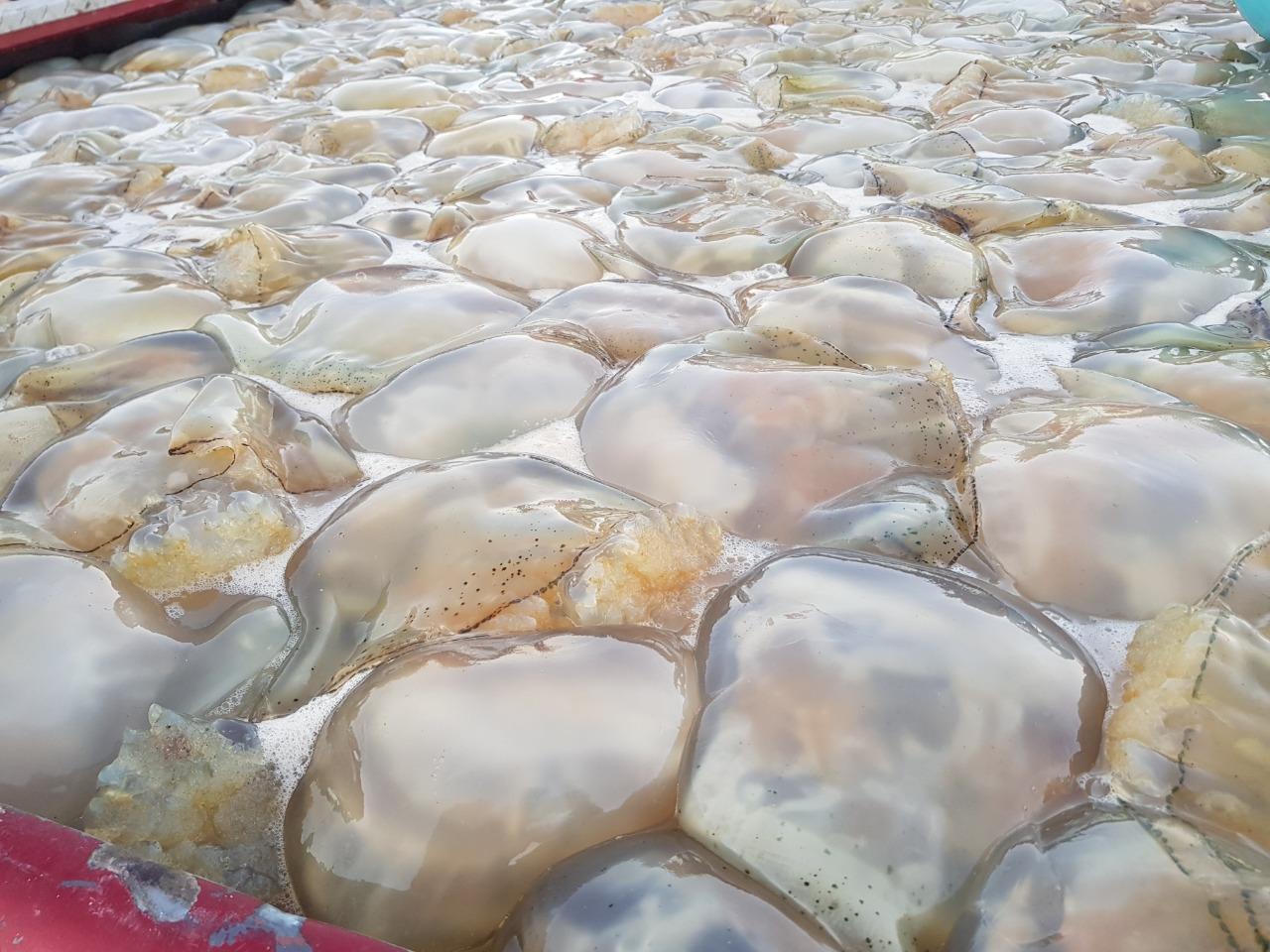 Autorizan permisos temporales para captura de medusa bola de cañón azul (Stomolophus meleagris), y medusa bola de cañón ámbar