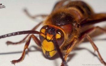 El avispón asiático gigante (Vespa mandarinia) no llegará a México, confirma el científico Alejandro Zaldívar Riverón de la UNAM