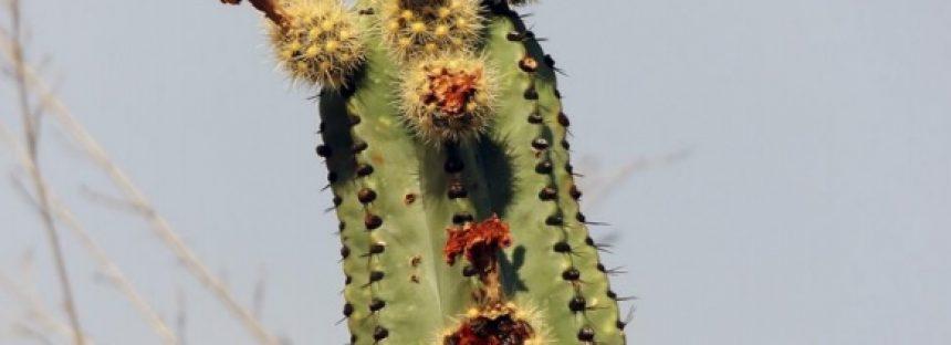 Científicos del CICY investigan la pitaya (Stenocereus queretaroensis) para producir colorantes orgánicos