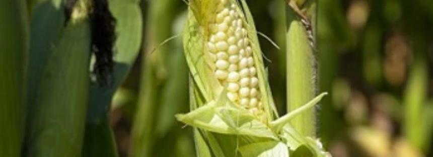 Teodulfo Aquino Bolaños del IPN, desarrolla bioplaguicidas para proteger cultivos de maíz, tomate rojo y agave