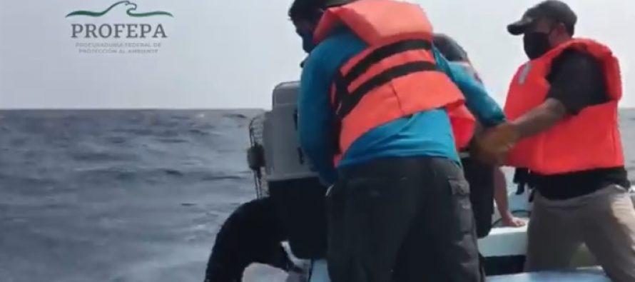 Liberan lobo marino de Galápagos (Arctocephalus galapagoensis) rescatado en costas de Chiapas; está recuperado