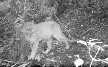Puma (Puma concolor), una especie fundamental para la salud ecosistémica de la Reserva de la Biósfera El Triunfo