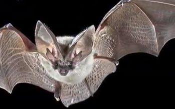 Bien de los murciélagos