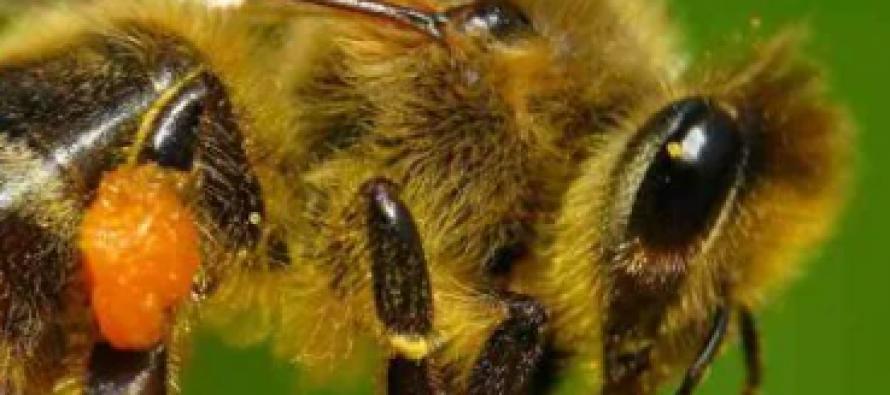 Abeja melipona (Melipona beecheii), la abeja sagrada maya, endémicas de Yucatán